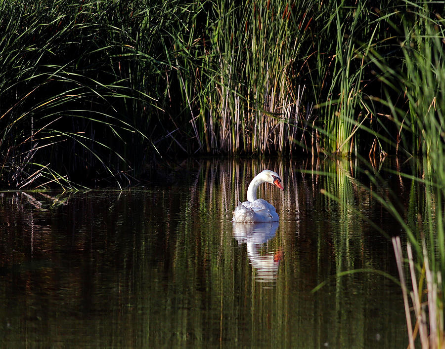 Swan Photograph - Mute Swan by Jim Nelson