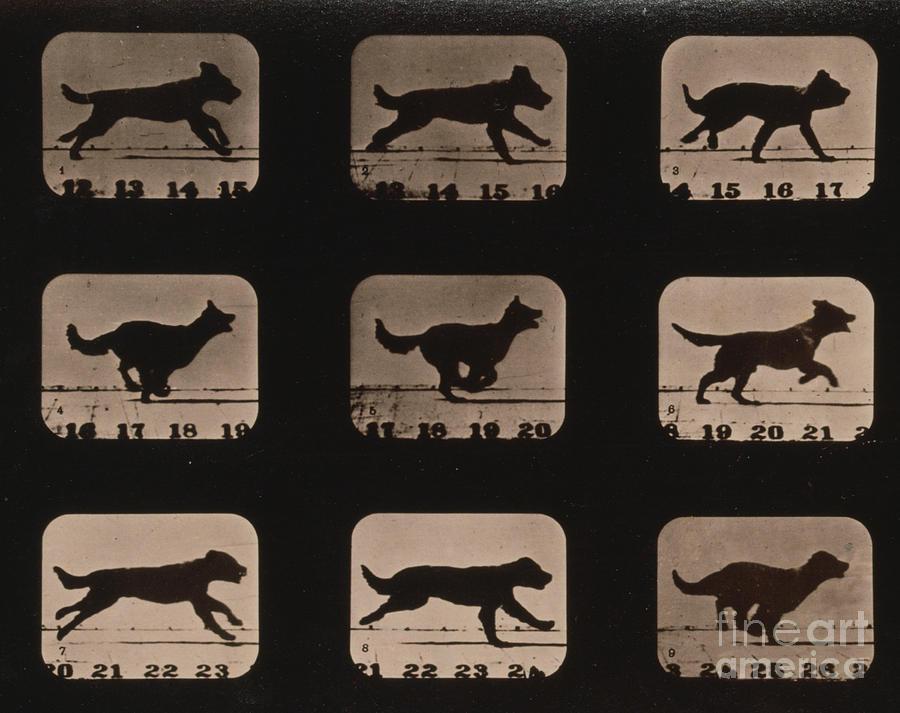 Muybridge Locomotion Dog Running 1881 By Photo Researchers