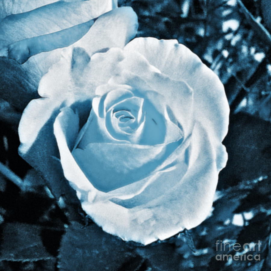 My Blue Garden Rose Photograph  - My Blue Garden Rose Fine Art Print