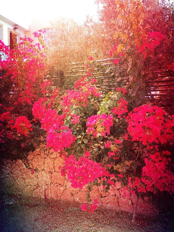 My Little Bougainvillea Photograph