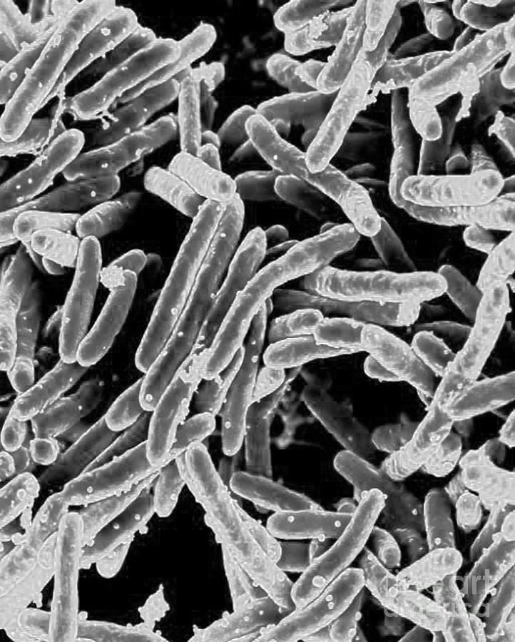 Mycobacterium Tuberculosis Bacteria, Sem Photograph