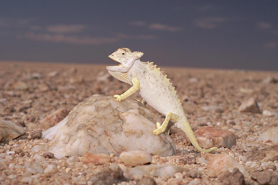 Mp Photograph - Namaqua Chameleon Chamaeleo Namaquensis by Michael & Patricia Fogden
