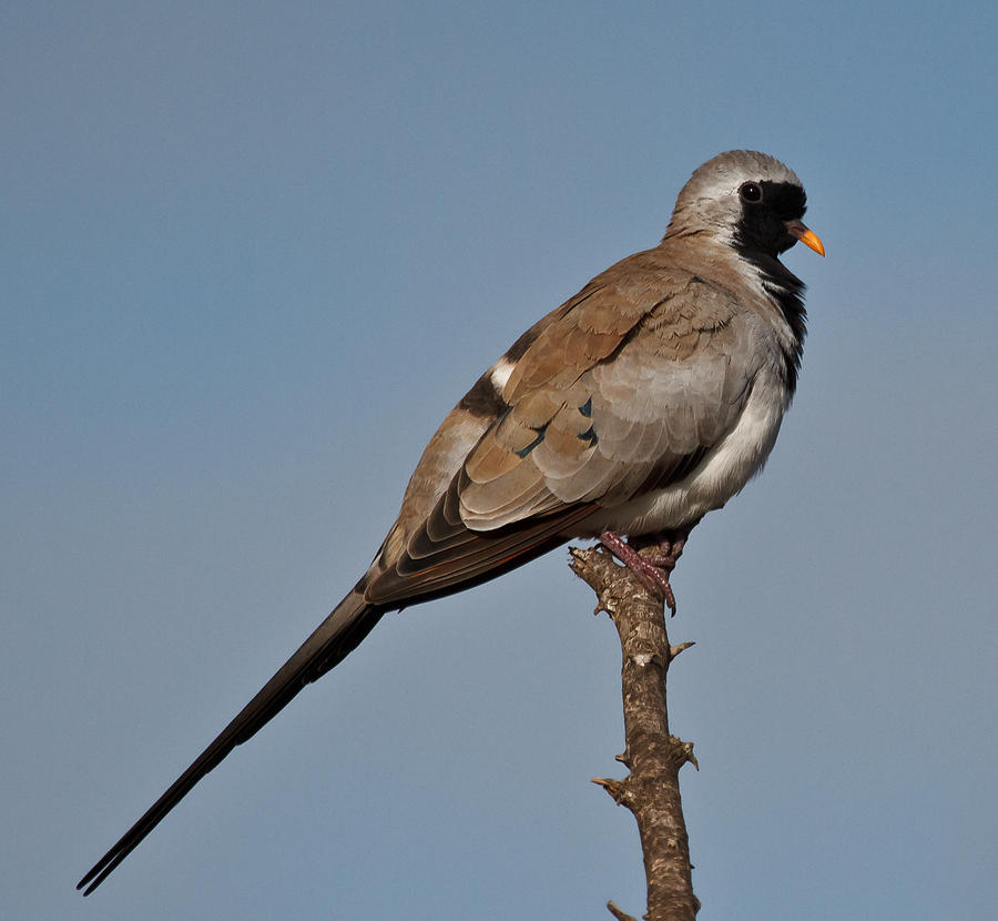 Namaqua Dove Photograph