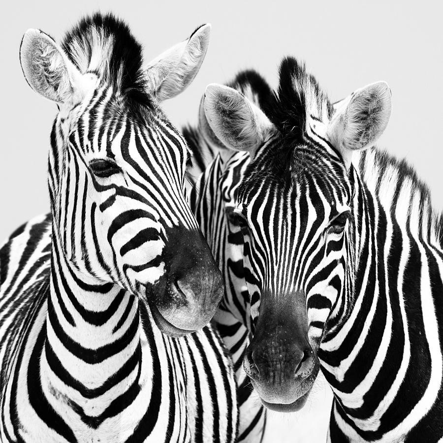 Namibia Zebras Iv Photograph
