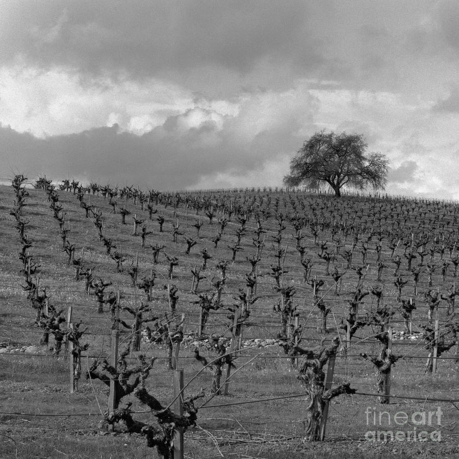 Napa Tree Photograph  - Napa Tree Fine Art Print