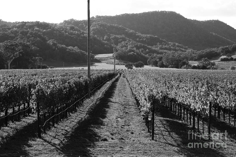 Napa Valley Vineyard .  Black And White . 7d9020 Photograph