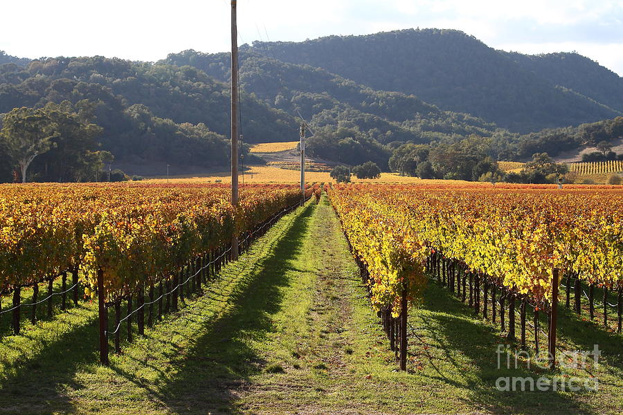 Napa Valley Vineyard . 7d9020 Photograph