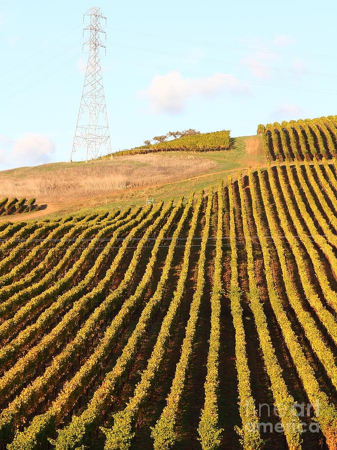 Napa Valley Vineyard . 7d9065 Photograph