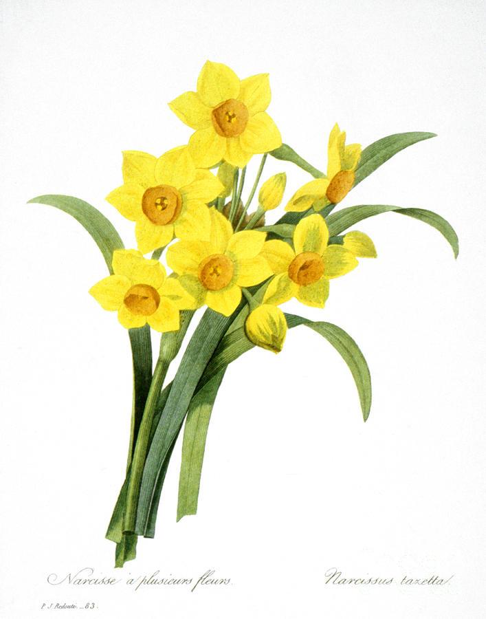 Narcissus (n. Tazetta) Photograph