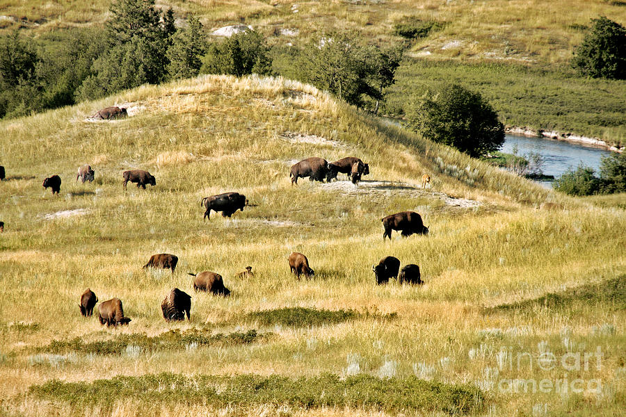 National Bison Range Moiese Mt Photograph  - National Bison Range Moiese Mt Fine Art Print