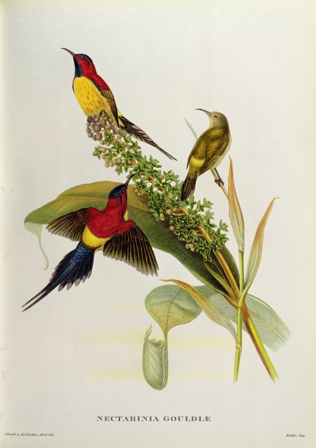 Nectarinia Gouldae Painting