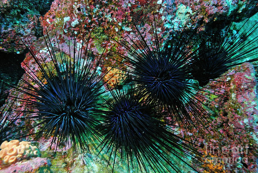 Needle Sea Urchin Photograph  - Needle Sea Urchin Fine Art Print