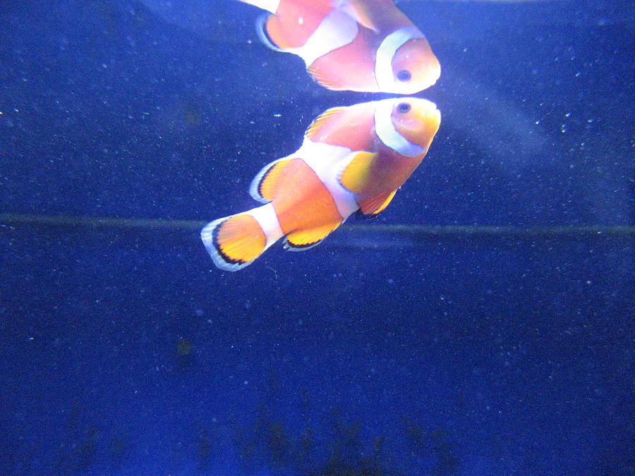 Nemo Pyrography - Nemo by Davor Sintic