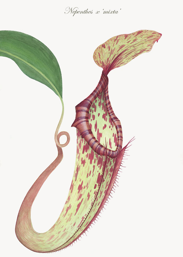 Nepenthes X mixta Painting  - Nepenthes X mixta Fine Art Print