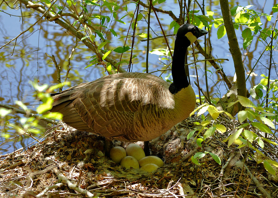 Nesting Canada Goose In The Heat Of The Day - C0567c Photograph