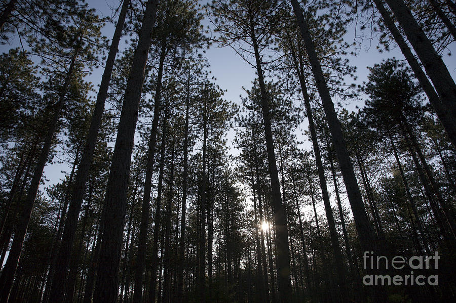 New England Red Pine Forest Photograph  - New England Red Pine Forest Fine Art Print