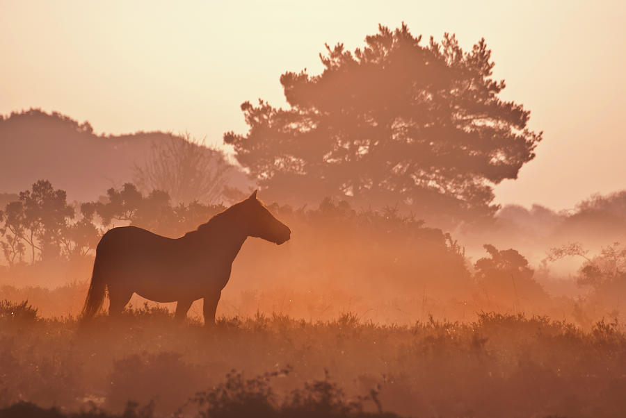 Horizontal Photograph - New Forest Pony In Mist At Dawn. by Julie Mitchell/Southdowns Photographics