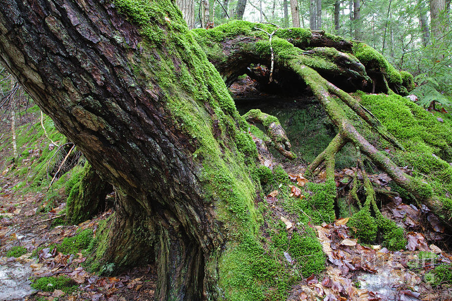 New England Photograph - New Hampshire Usa Forest by Erin Paul Donovan