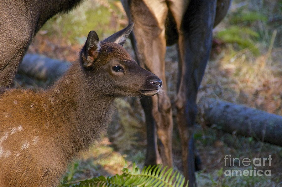 Photography Photograph - Newborn Elk by Sean Griffin