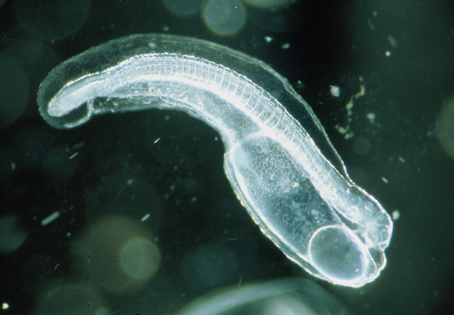 Newly-hatched Glass Eel Embryo, Anguilla Japonica Photograph