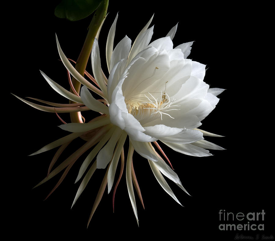 Night-blooming Cereus 1 Photograph