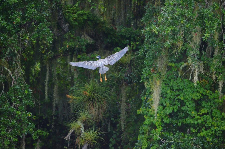 Yellow-crowned Night Heron Photograph - Night Flight by Lynda Dawson-Youngclaus