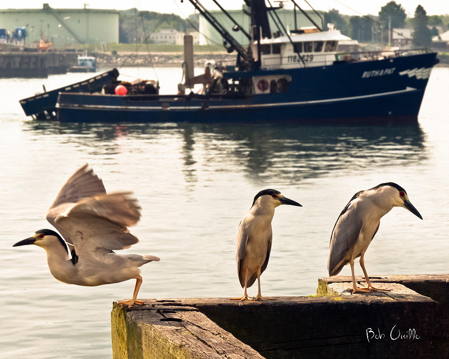 Night Herons Portland Maine Photograph  - Night Herons Portland Maine Fine Art Print