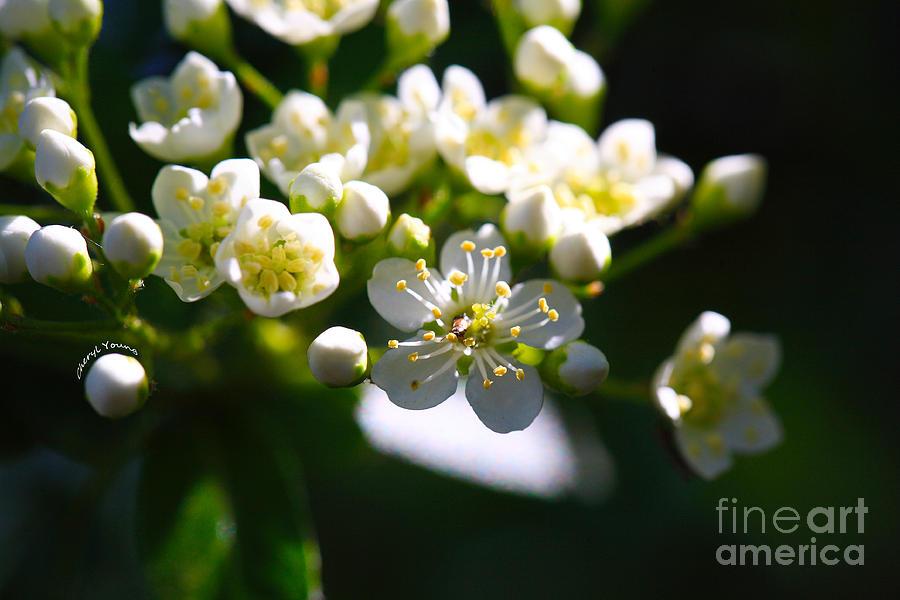 Ninebark Blooms Photograph