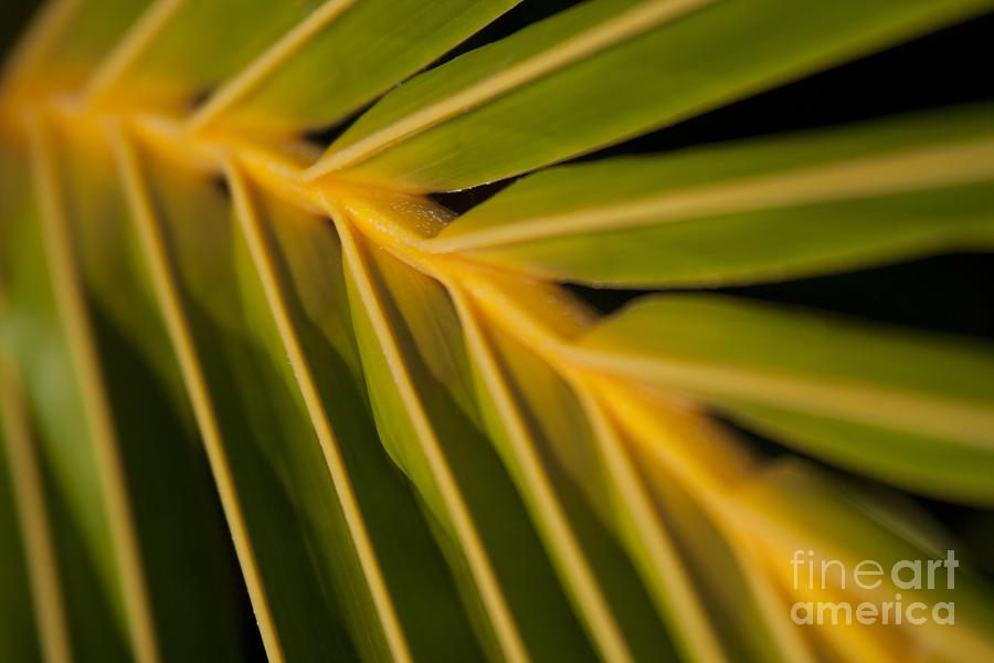 Niu - Cocos Nucifera - Hawaiian Coconut Palm Frond Photograph