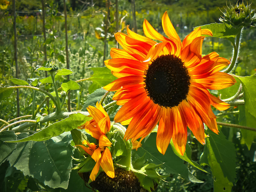 Noontime Sunflowers Photograph  - Noontime Sunflowers Fine Art Print
