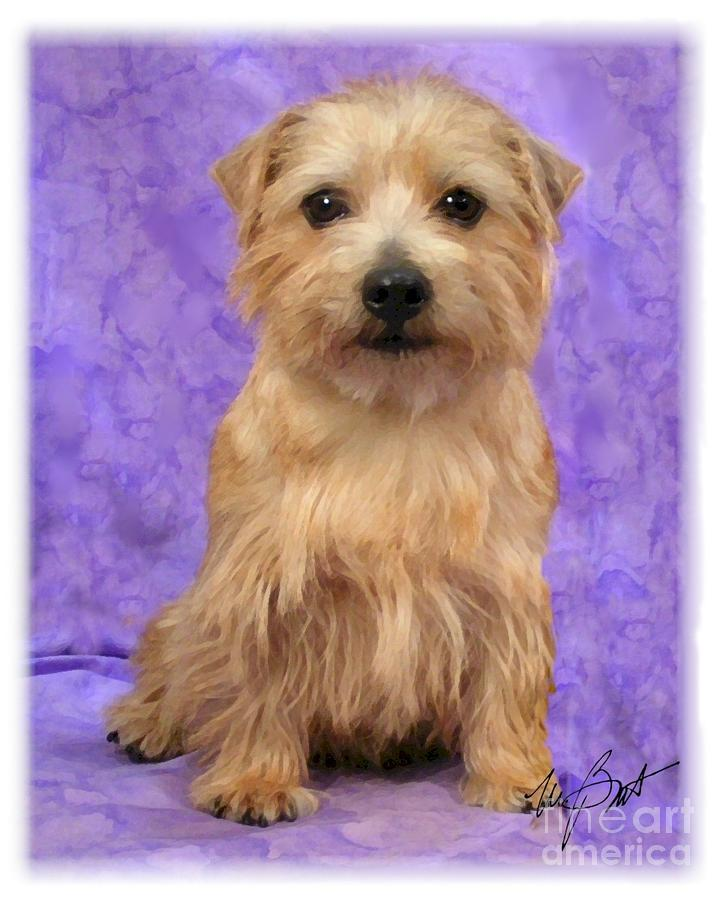 Norfolk Terrier Pup Digital Art
