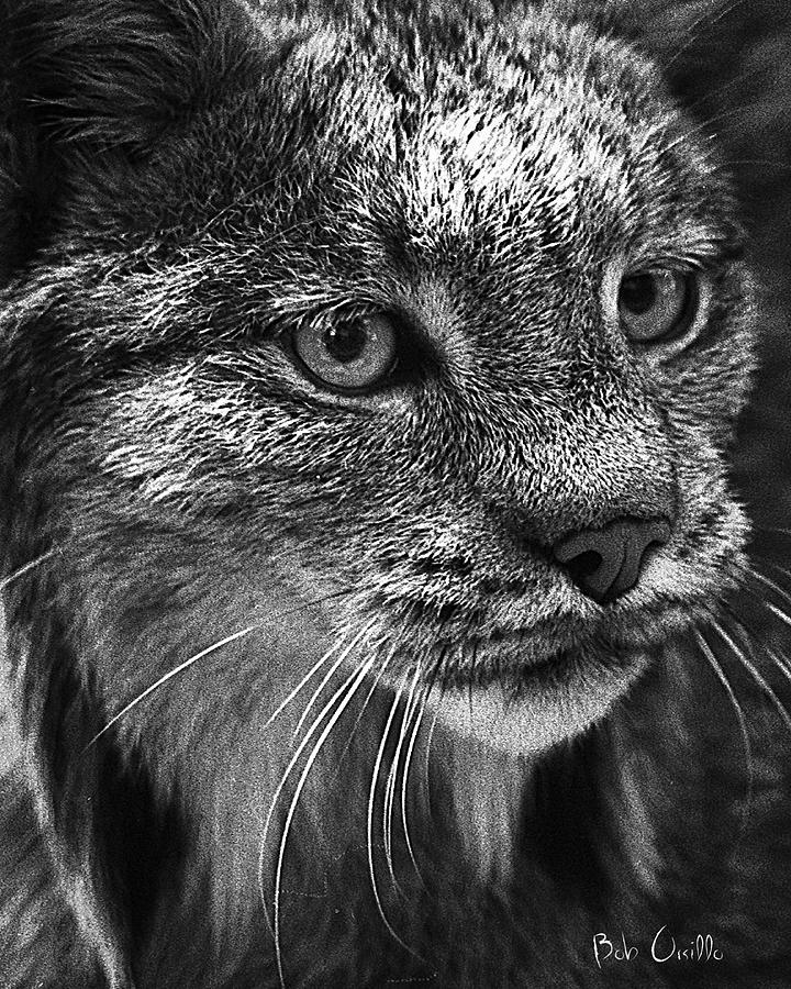 North American Lynx In The Wild. Photograph  - North American Lynx In The Wild. Fine Art Print