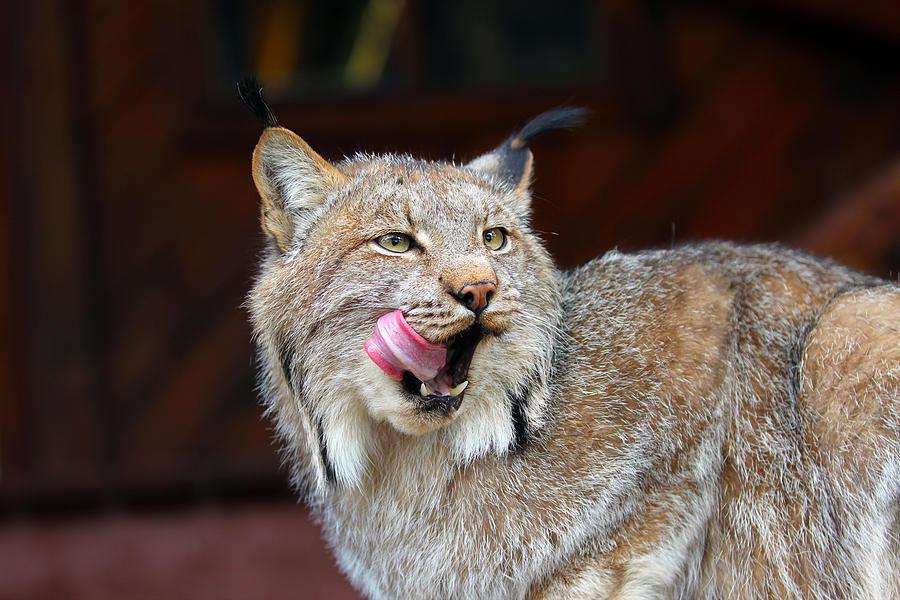 Alert Photograph - North American Lynx by Paul Fell