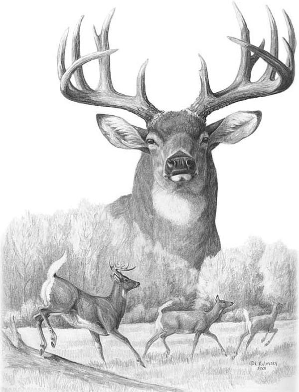 North American Nobility Whitetail Deer Drawing
