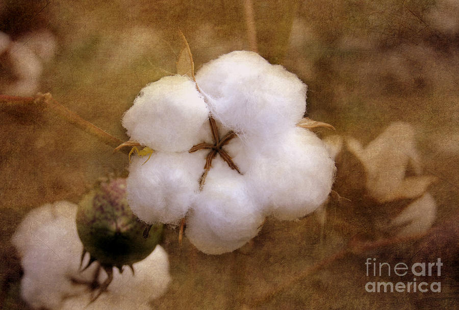 North Carolina Cotton Boll Photograph  - North Carolina Cotton Boll Fine Art Print