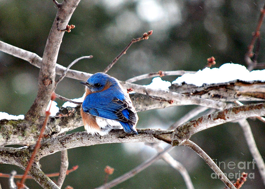 Northern Bluebird Photograph  - Northern Bluebird Fine Art Print