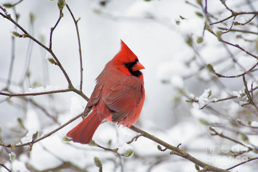 Northern Cardinal - D001540 Photograph  - Northern Cardinal - D001540 Fine Art Print