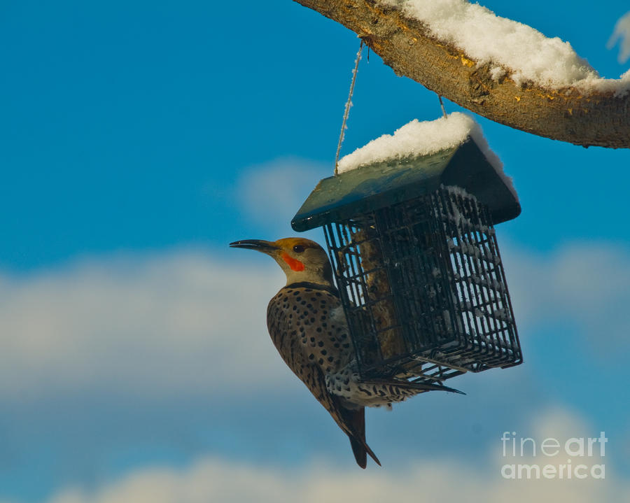 Northern Flicker Photograph  - Northern Flicker Fine Art Print