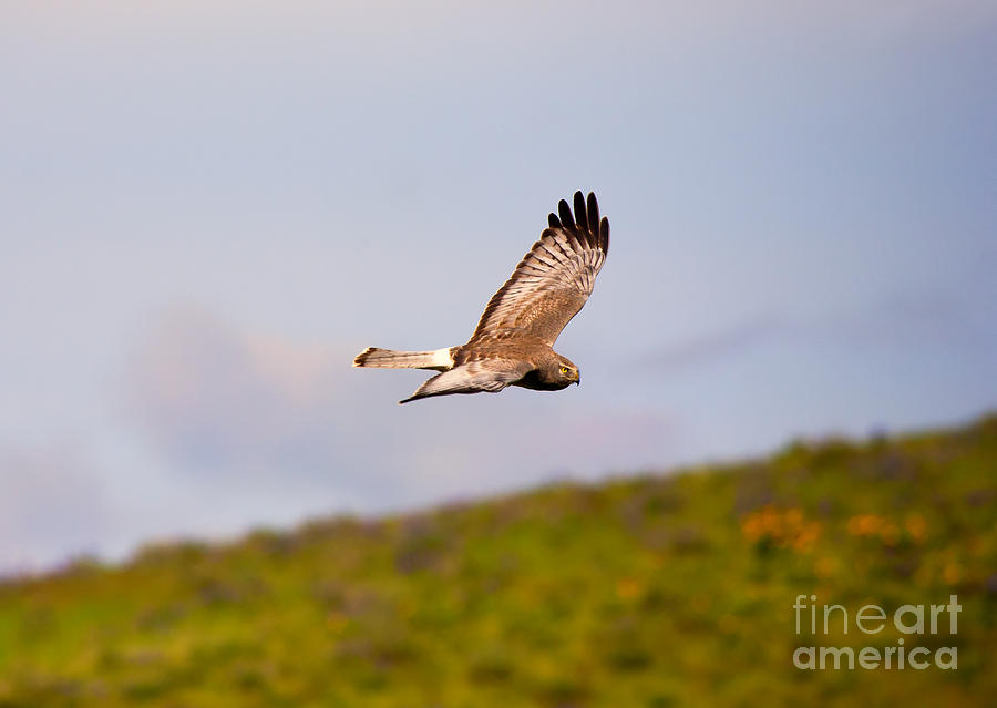 Northern Harrier Photograph - Northern Harrier Flight by Mike  Dawson
