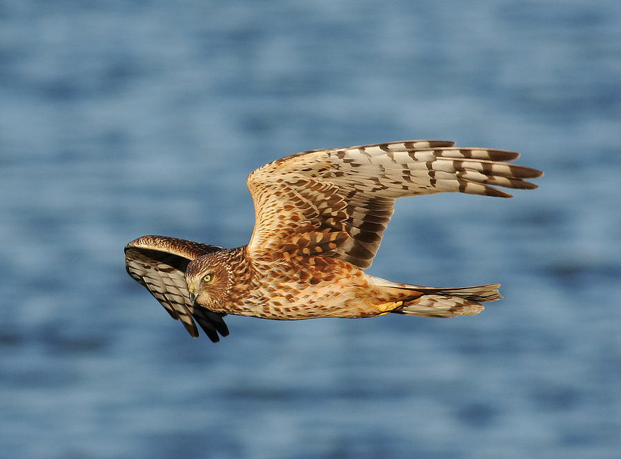 Northern Harrier  Photograph  - Northern Harrier  Fine Art Print
