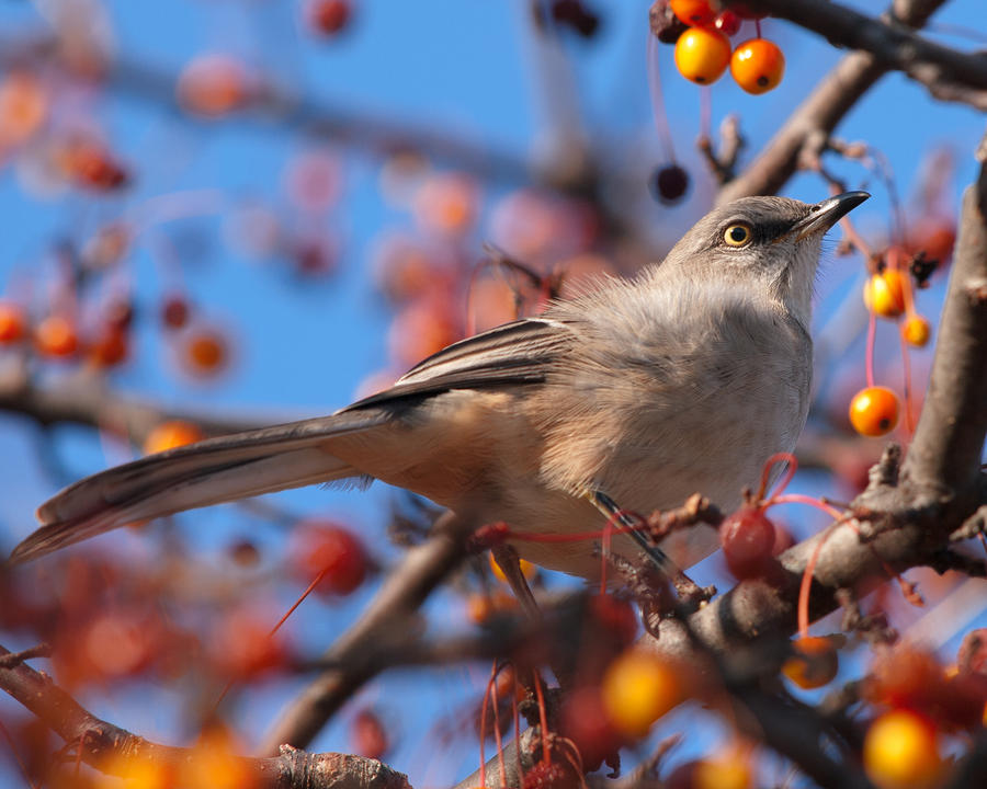 Northern Mockingbird Photograph