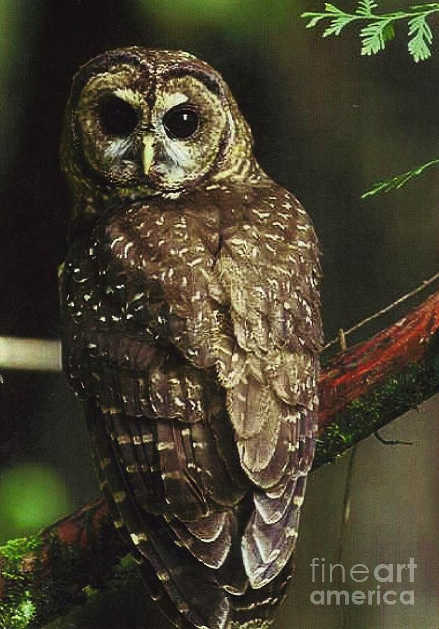 an overview of the northern spotted owl An international journal volume 5, 1992 - issue 1 submit an article journal homepage.