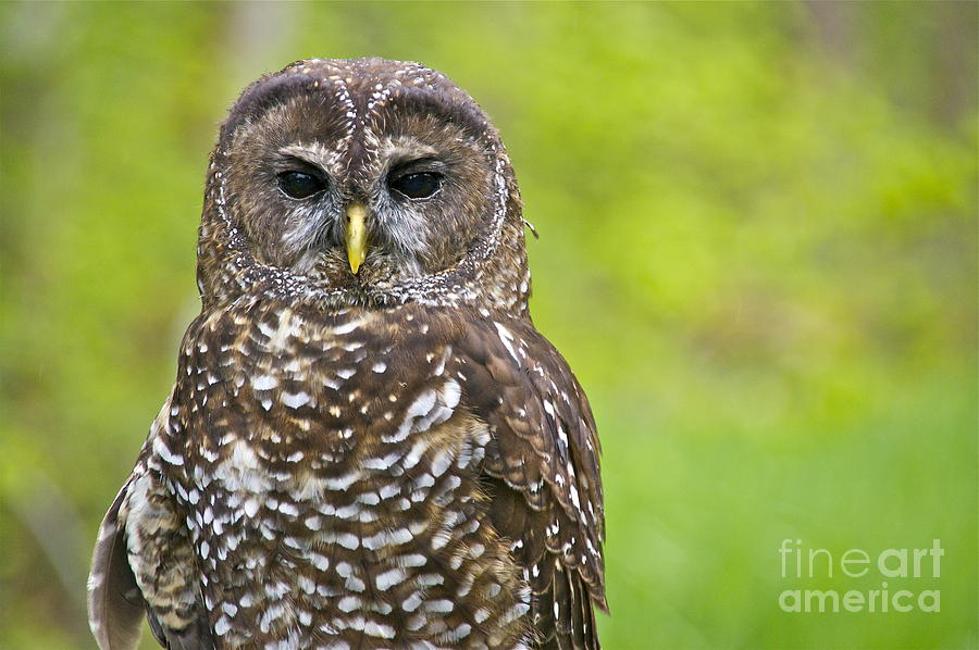 Northern Spotted Owl Photograph  - Northern Spotted Owl Fine Art Print