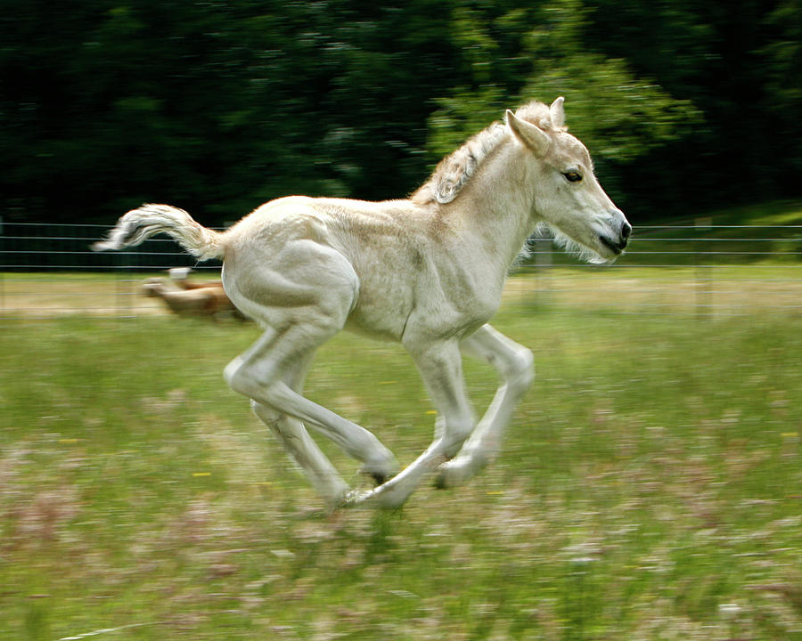 Norwegian Fjord Colt Running Photograph