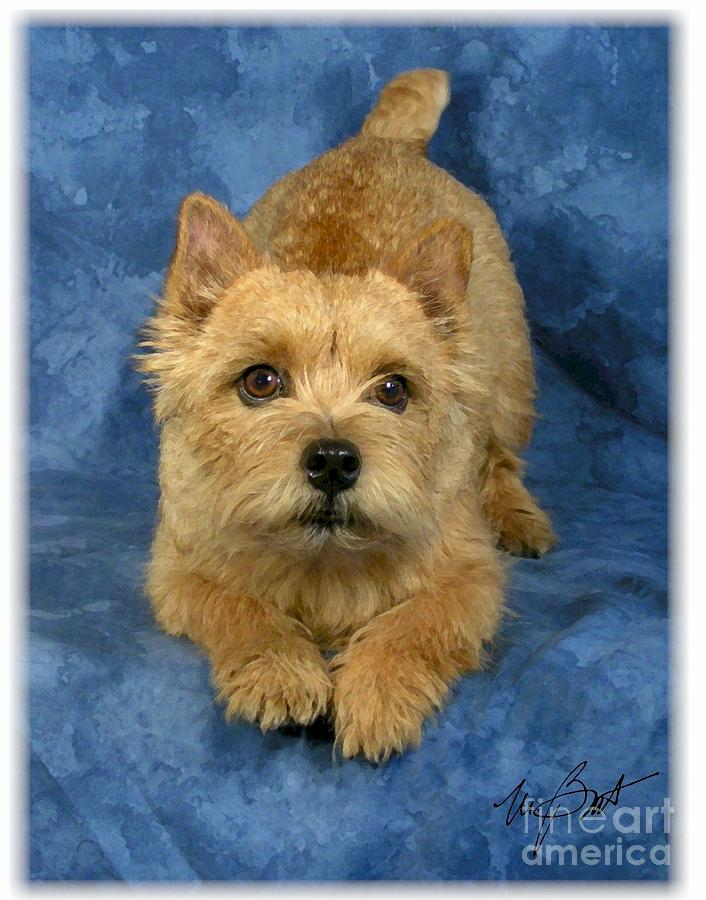 Norwich Terrier Pup Digital Art  - Norwich Terrier Pup Fine Art Print