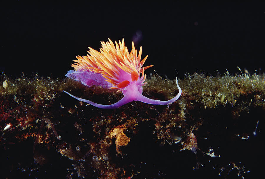 00095066 Photograph - Nudibranch Brightly Colored Arctic Ocean by Flip Nicklin