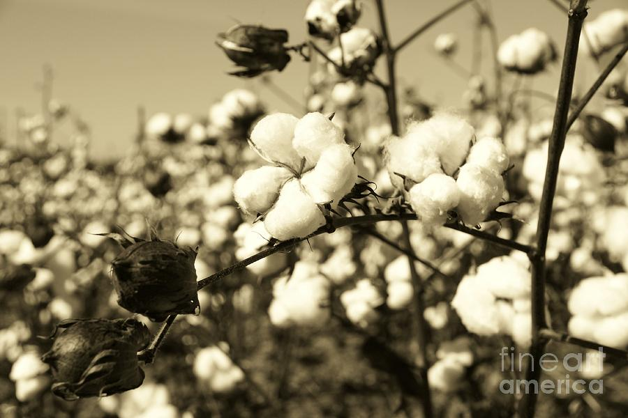 O Sweet Cotton Photograph  - O Sweet Cotton Fine Art Print