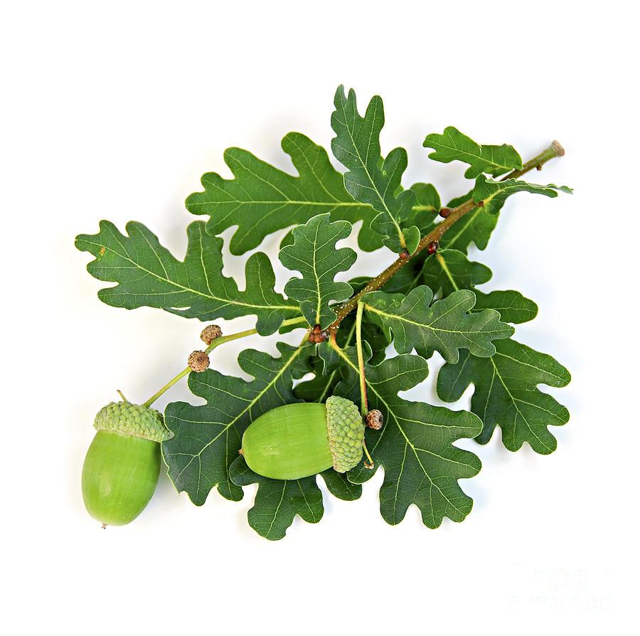Oak Branch With Acorns Photograph