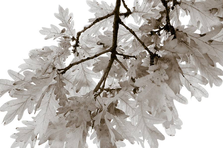 Oak Leaves Photograph  - Oak Leaves Fine Art Print