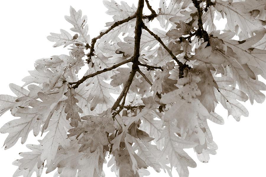 Oak Leaves Photograph